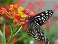 Butterfly.301