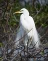 Great Egret at Wakodahatchee Wetlands, FL