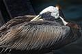 Florida Pelican