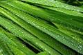 Dew on Freesia Leaves