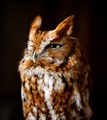 Screech Owl that lives in a refuge since falling out of it's nest and being severely injured. He now resides in a Wildlife Preserve and travels around with the other Birds of Prey for education events.