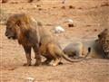 Even lions do...