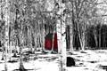 A woodshed in a birch wood, in Nova Scotia