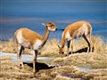 Vicuñas of Bolivia