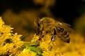 bee full of pollen