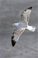 Young Gull - just turning white