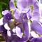 zs15-wisteria-crop