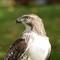 Hawk 059