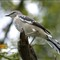 Northern Mockingbird 03