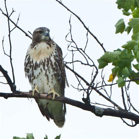 Hawk-perched-in-tree