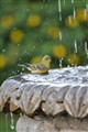 Gold Finch in the fountain
