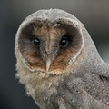 Black Barn Owl @ f2.8