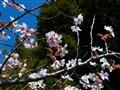 White Cherry 2