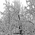 black tree white snow