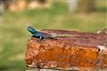 Agamidae
