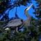 Heron_in_spruce