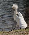 Snowy Egret-3646