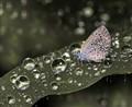 Topaz blue butterfly