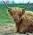 highland cow, bad hair day, but like the earrings.