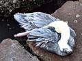 Brown Pelican, Port of Galveston