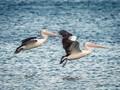 Australian Pelicans, Altona