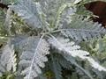 Silver Lace Plant