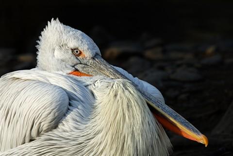 DSC_1605_pelican