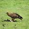 Tawny Eagle eating Abdim's Stork - Ngorongoro Crater