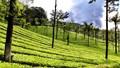 Tea Estate in Valparai, Tamil Nadu, India