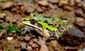 Frog @ Agumbe