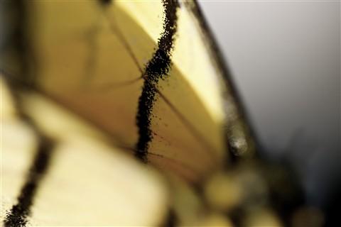 Butterfly Collar...