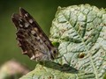 Speckled Wood at ISO6400