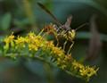 Fall Wasp