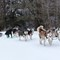 Iron River Sled Dog Race 2