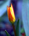 First Spring Flower