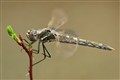 51/2-legged Dragonfly