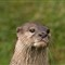 Otterface1600