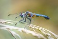 Blue Dasher with Water Mite Parasities