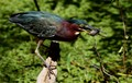 Green Heron at the Crew Bird Rookery Trail