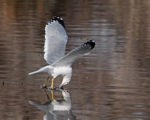 Gull 1 121711