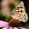 butterfly_kl