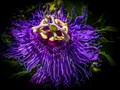 Giant Granadilla Flower