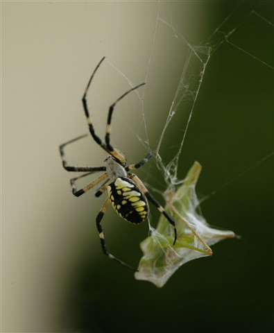 Black and Yellow Garden Spider w Katydid