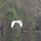 Egret in flight 3: