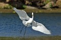 Great Egret Elegance on the wing