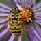 standard bee