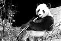 Panda, Adelaide Zoo
