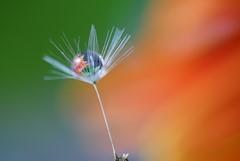 A dandelion seed