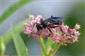 Great Black Wasp on Swamp Milkweed