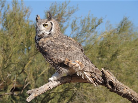 Great Horned Owl. Arizona Sonoran Desert Museum